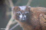 Male Red-bellied Lemur (Eulemur rubriventer) [madagascar_tamatave_0106]