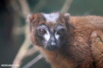 Male Red-bellied Lemur (Eulemur rubriventer) [madagascar_tamatave_0107]