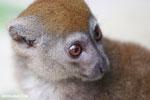 Eastern lesser bamboo lemur (Hapalemur griseus) [madagascar_tamatave_0111]