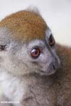 Gray gentle lemur (Hapalemur griseus) [madagascar_tamatave_0112]