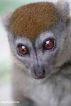 Grey bamboo lemur (Hapalemur griseus)