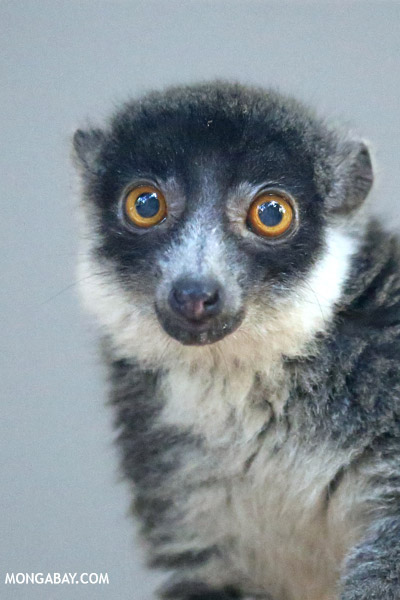 A female mongoose lemur (Eulemur mongoz), listed as Vulnerable. Photo by: Rhett A. Butler.