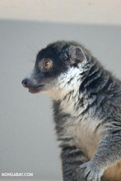 Female mongoose lemur (Eulemur mongoz)