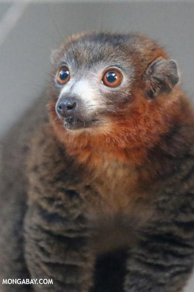 Male mongoose lemur (Eulemur mongoz)
