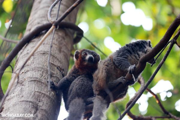 Pair of mongoose lemurs