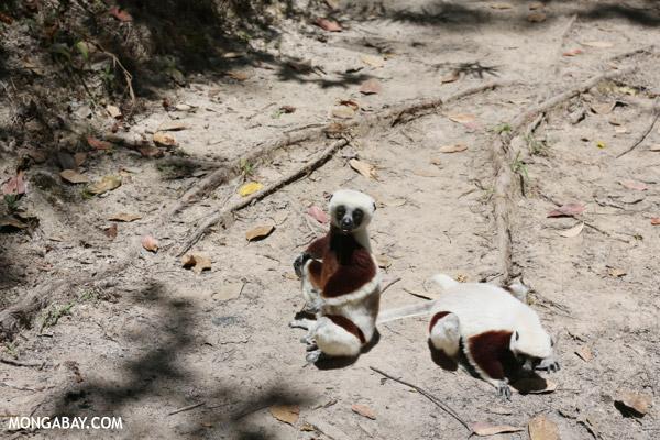 Coquerel's sifaka (Propithecus coquereli) on the ground