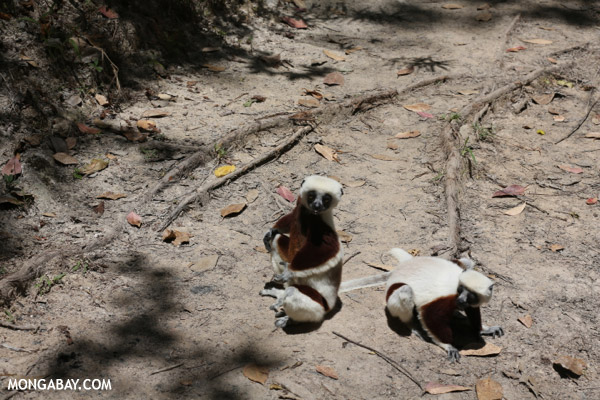 Coquerel's sifaka on the ground