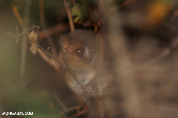 Golden Brown Mouse Lemur