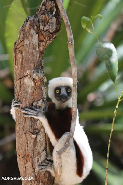 Coquerel's sifaka (Propithecus coquereli) in a tree