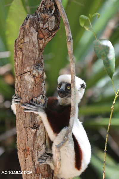 Coquerel's sifaka in a tree
