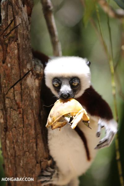Coquerel's sifaka feeding