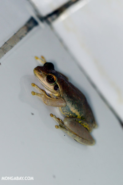 Unidentified frog