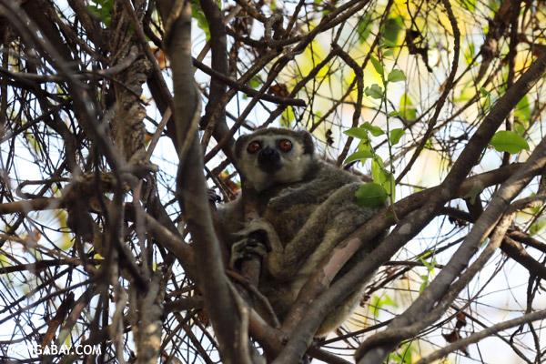 Lepilemur edwardsi sportive lemur