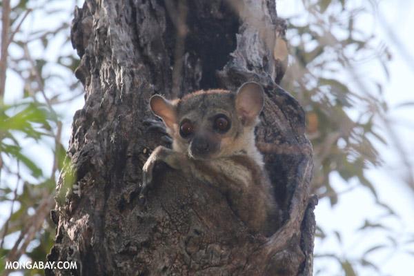 Milne-Edwards' Sportive Lemur
