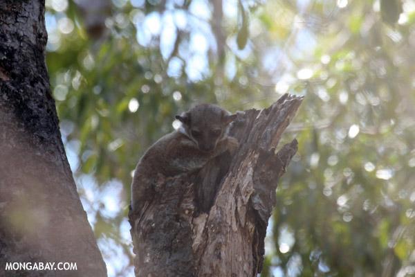 Milne-Edwards' Sportive Lemur (Lepilemur edwardsi)