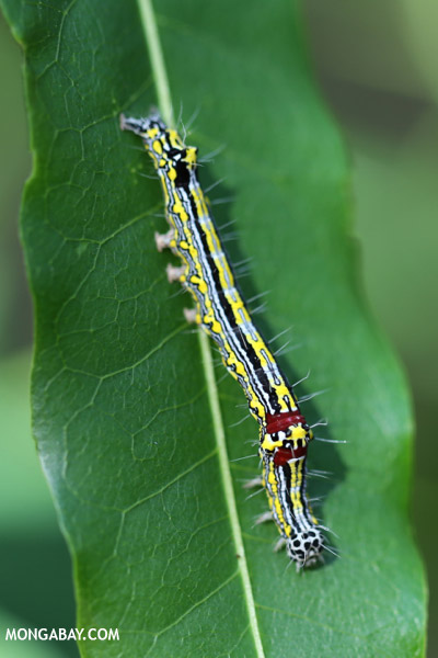 Blue, yellow, black, and red caterpillar