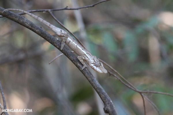Juvenile Oustalet's chameleon