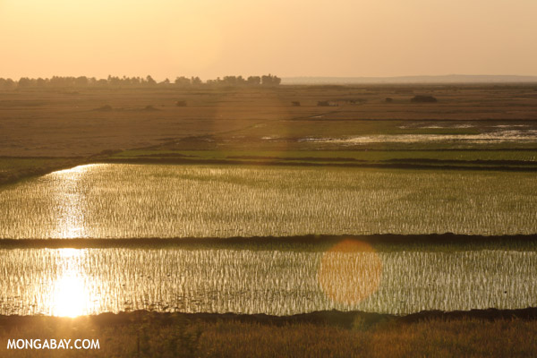 Rice fields at sunset in Madagascar