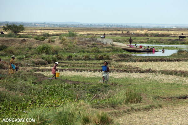 Malagasy villagers working in a rice field