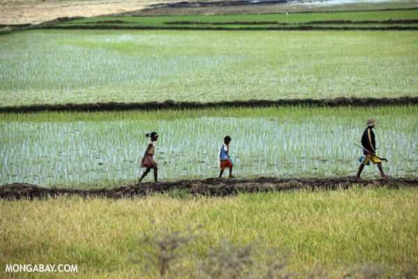 Malagasy villagers walking in a rice paddy