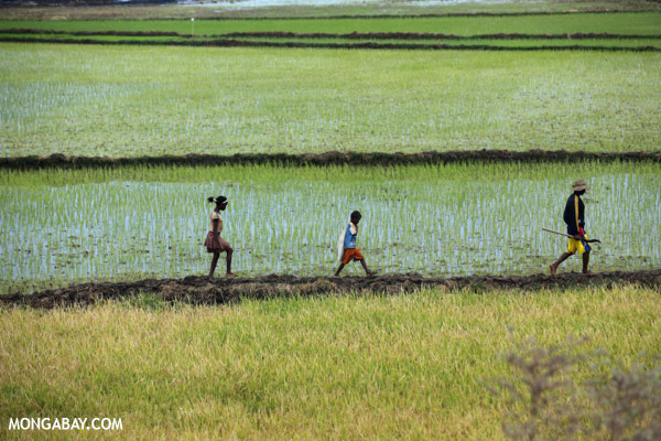 Malagasy villagers walking in a rice field