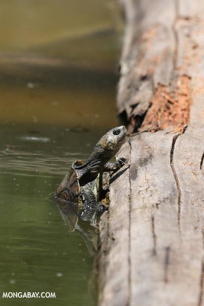 Madagascar big-headed turtle (Erymnochelys madagascariensis)