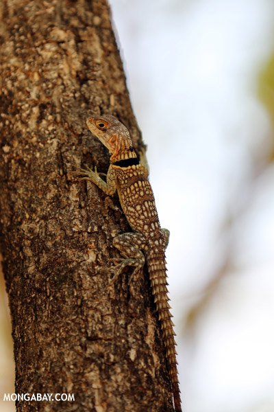 Madagascar spiny tailed iguana (Oplurus cuvieri)