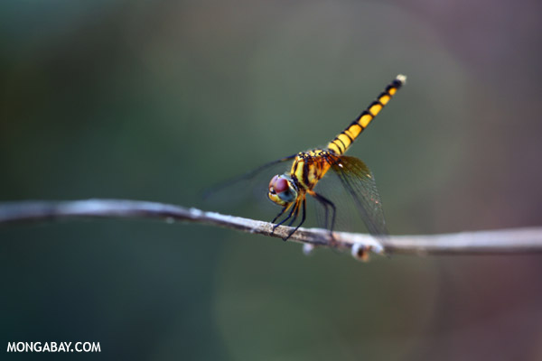 Yellow dragonfly with maroon eyes and blue cheeks