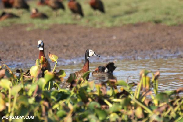 White-faced Whistling Ducks