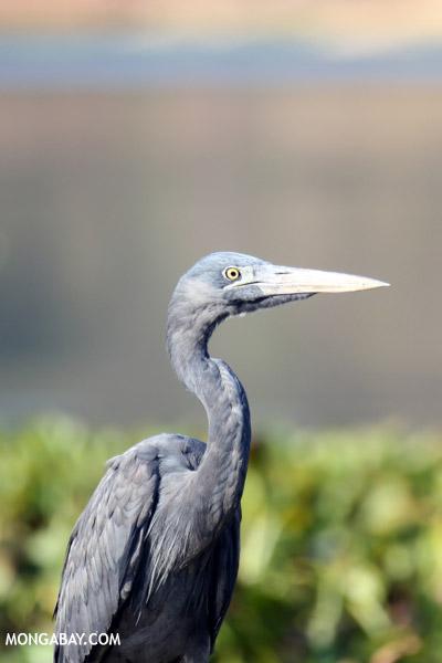 Humblot's Heron (Ardea humbloti)
