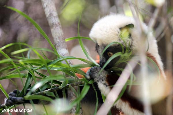 Coquerel's sifaka (Propithecus coquereli) feeding