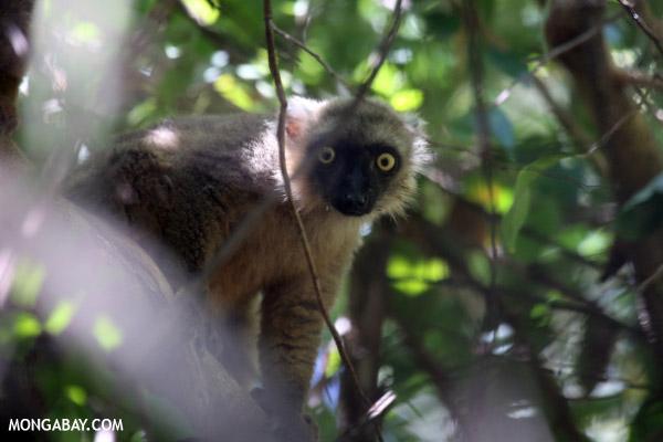 Male Sanford's brown lemur (Eulemur sanfordi)