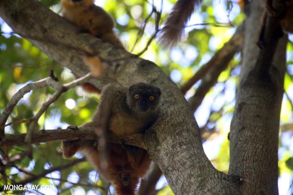 Female Sanford's brown lemur (Eulemur sanfordi)