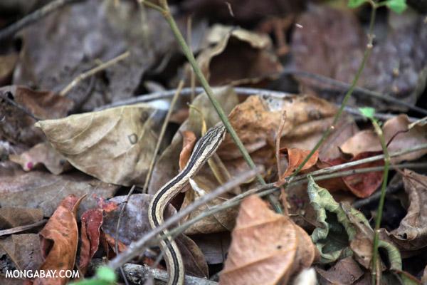 Mimophis mahfalensis snake