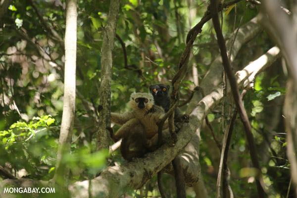 Pair of Sanford's brown lemur (Eulemur sanfordi)