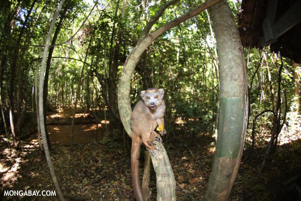 Crowned lemur (Eulemur coronatus) scavenging a campground