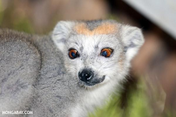 Cross-eyed Female crowned lemur (Eulemur coronatus)