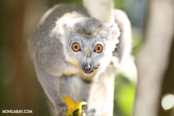 Female crowned lemur (Eulemur coronatus)