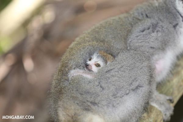 Baby crowned lemur (Eulemur coronatus) on its mother's back