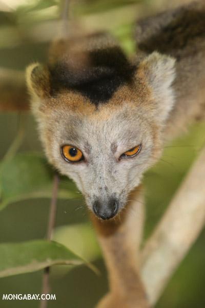 Male crowned lemur winking
