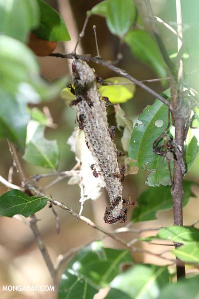 Hanging wasp nest in Madagascar
