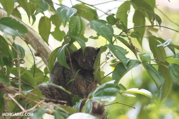 Ankarana sportive lemur (Lepilemur ankaranensis)