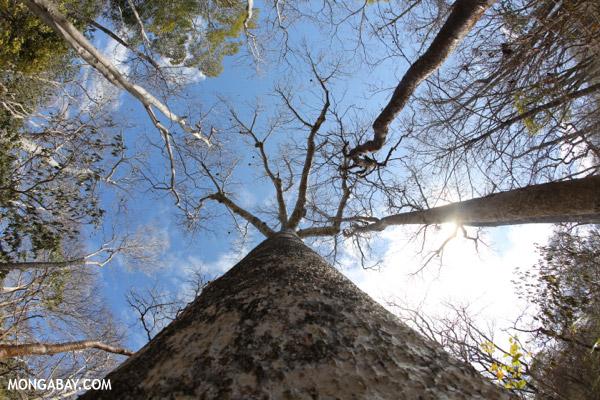 Diego Suarez Baobab (Adansonia suarezensis)
