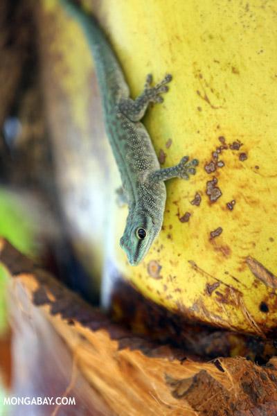 Abbott's Day Gecko (Phelsuma abbotti)