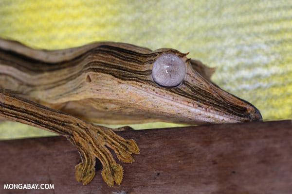 Uroplatus lineatus in captivity