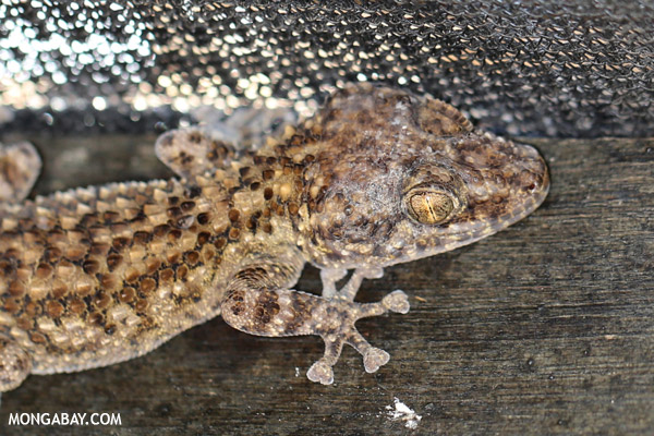 Unidentified gecko