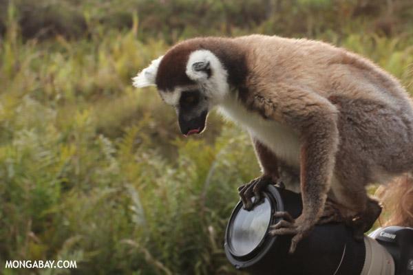 Ring-tailed lemur (Lemur catta) climbing on a Canon camera lens