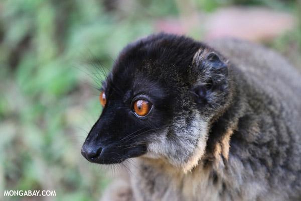 Common brown lemur (Eulemur fulvus) [male]