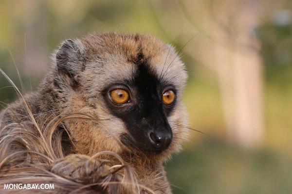 Female Common brown lemur (Eulemur fulvus)