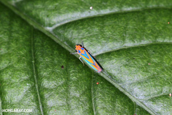 Orange planthopper